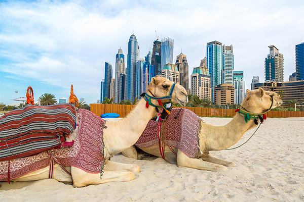 Dubai kamel